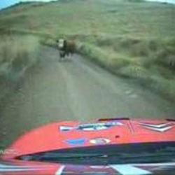 Корова на дороге  - Видеоприколы