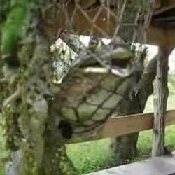 Громко визжащая гигантская лягушка