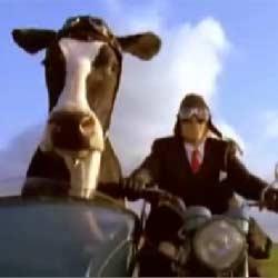 Корова на мотоцикле : Прикольная реклама