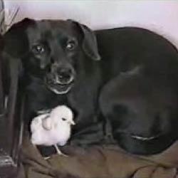 Дружба щенка и цыпленка