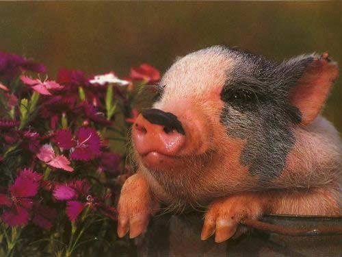 Свинки : Символ 2007 года